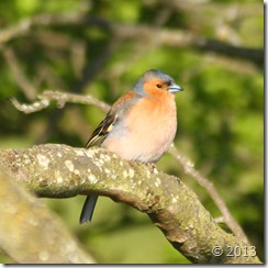 chaffinch male