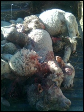 STOCK THEFT EAST FREESTATE BETHLEHEM ONLY TAKE MEAT SEPT152011