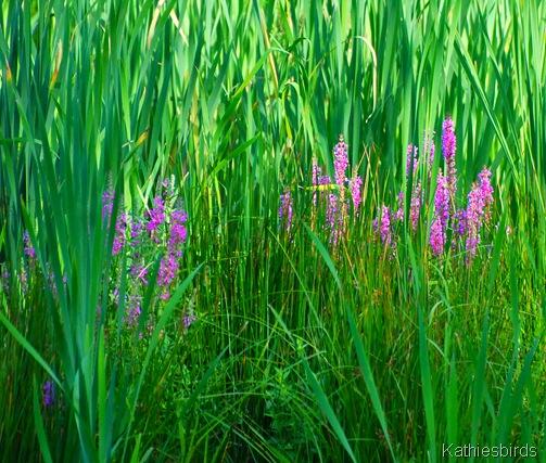 4. purple loosestrife-kab