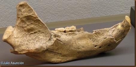 Maxilar de oso de las cavernas - Cueva de Abauntz - Museo de Navarra