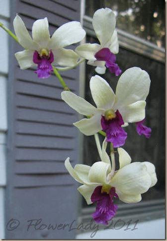 06-11-doug-orchid2