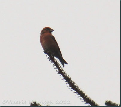 19-crossbill