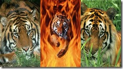 tiger2 samsung star wallpaper