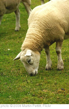 'Sheep Grazing' photo (c) 2008, Martin Pettitt - license: http://creativecommons.org/licenses/by/2.0/