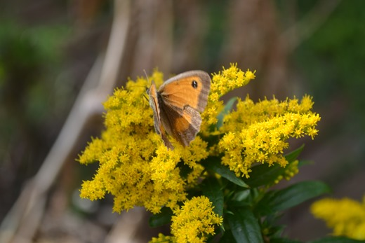 Golden Rod - a million golden daisies attracts flying pollinating insects - the Gatekeeper Butterfly