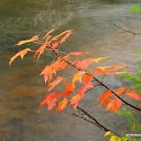 Maple Leaves at Bond Falls / Upper Michigan