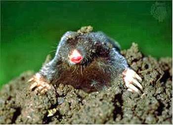 mole1