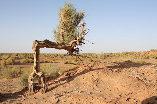 Saxaul tree
