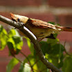 female cardinal front tree.jpg