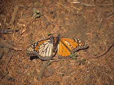 2004 March Mariposa Monarca Michoacan0029.jpg