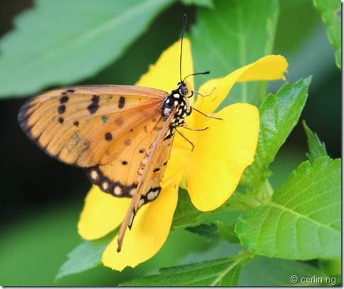 tawny coster on turnera sp.