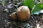 But, as puffballs age, they turn brown and the insides begin to get dry and powdery.