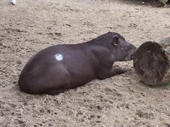 2011.08.07-031 tapir