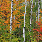 Birch and Fall Color / Northern Wisconsin