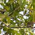 Dark-necked%252520tailorbirds