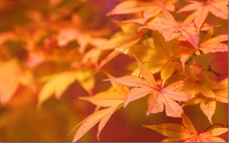Harvest Time ~ Fall Leaves ~ Title Japanese Maple