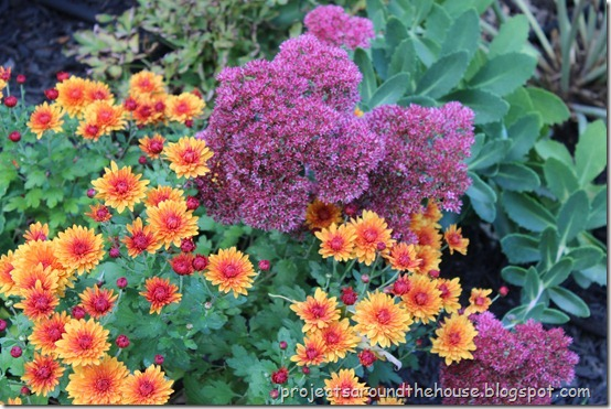 crysanthemum- autumn joy sedum