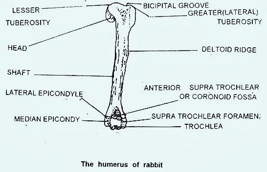 humerus-rabbit