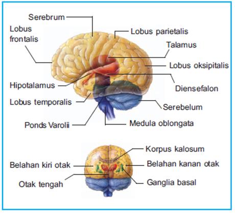 bagian bagian otak manusia