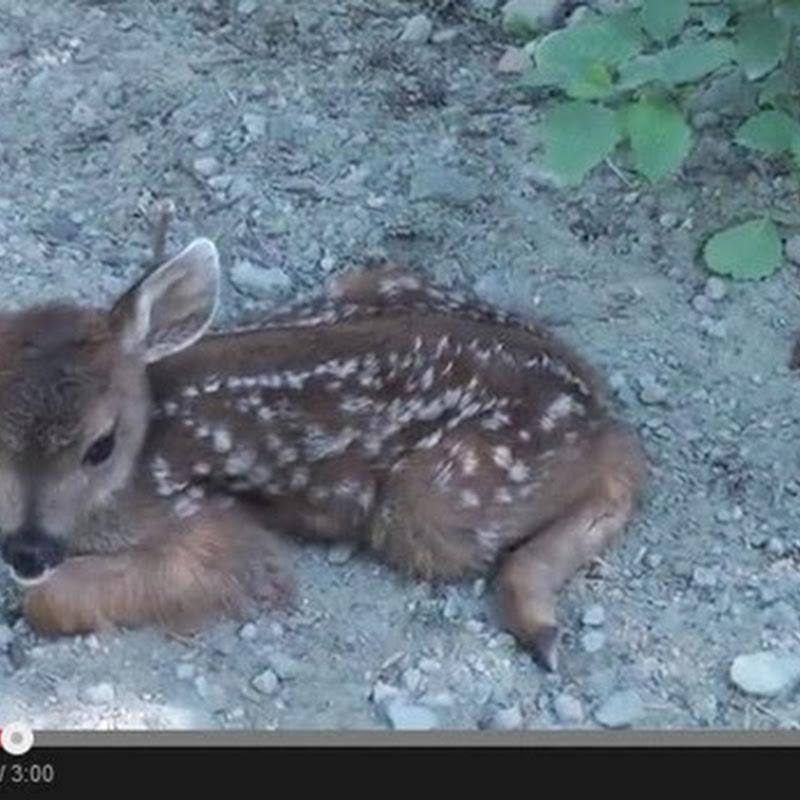 Μωρό ελαφάκι  ψάχνει τη μαμά του
