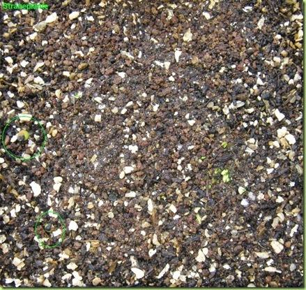 Ariocarpus furfuraceus Matehuala - SLP-2011-01-20_00009IMG_4722
