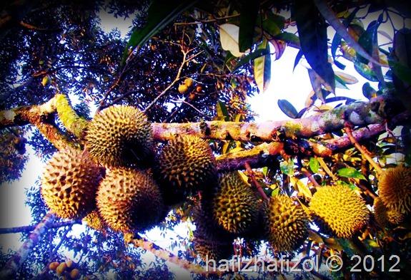 Durian Pok Awang Paling Sedap