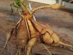 Tuberous roots- Mirabilis jalapa