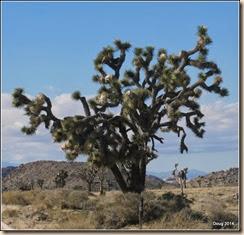 Big Joshus Tree