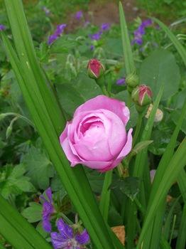 033 Rosa 'Wenlock' Geranium wlassovianum Daniel Grankvist