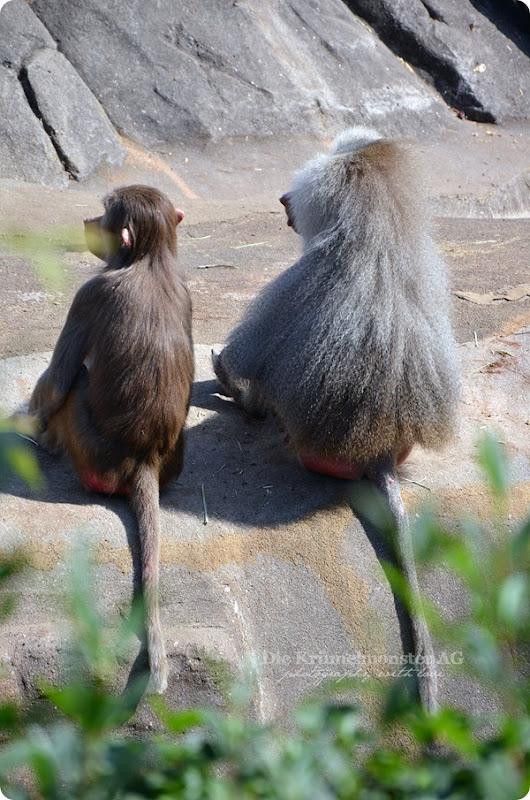 Zoo Frankfurt Paviandebatte 150813 (2)