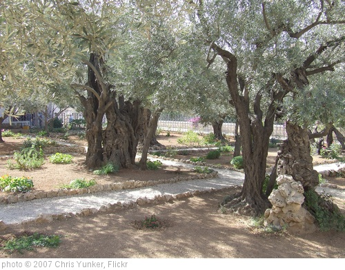 'Garden of Gethsemane' photo (c) 2007, Chris Yunker - license: http://creativecommons.org/licenses/by-sa/2.0/