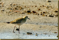 untitled Ameican Golden Plover_ROT8027 October 08, 2011 NIKON D3S