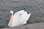 Swan in Lac Leman