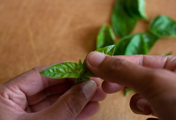 Plucking basil leaves - 2