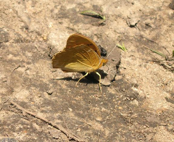 Nephargynnis anadiomene ella BREMER, 1864. Au sud d'Andreevka, 5 juillet 2011. Photo : J. Michel