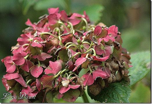 Hydrangea_Autumn