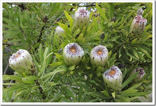 111015_Santa-Cruz_UCSCA_Protea-obtusifolia_03