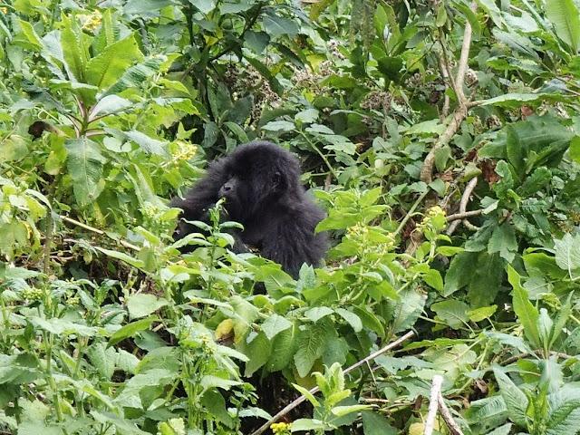 Gorilla Tracking 026.JPG