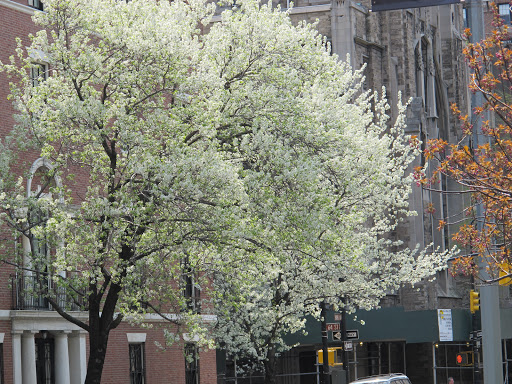 The blossoming trees on Park brighten the morning commute.