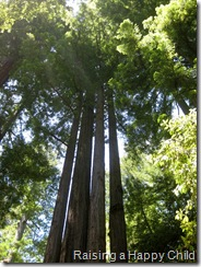 July24_Redwoods3
