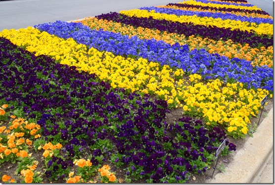 Pansy Stripes in Garden Bed