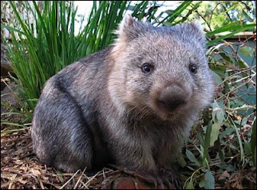 Not so fat Wombat