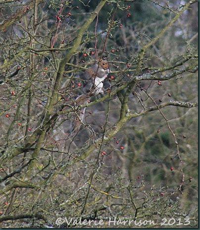 20-grey-squirrel