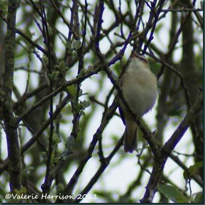 3-sedge-warbler