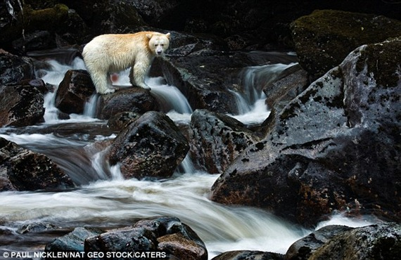 Wildlife photographers now travel from across the globe for the chance to capture the white bear on camera, which are virtually impossible to photograph, due to their scarcity