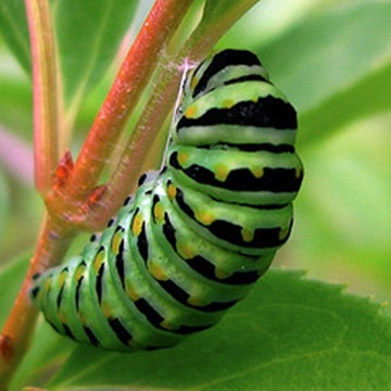 GREEN_CATERPILLAR