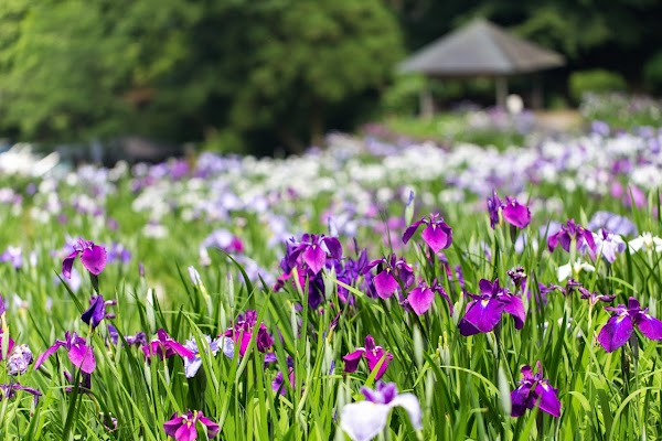 卯辰山花菖蒲園の写真