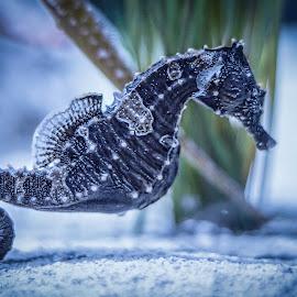 Sea Horse by Carol Plummer - Animals Sea Creatures