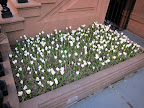 Francesca!  Look what someone planted along this sidewalk in Manhattan!  Beautiful white crocuses!
