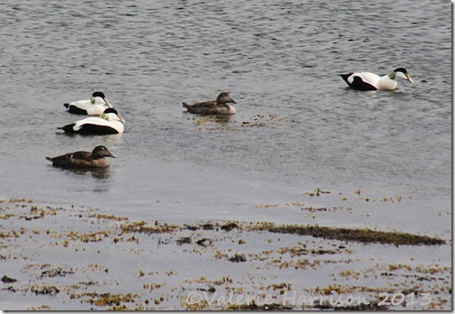 Eiders